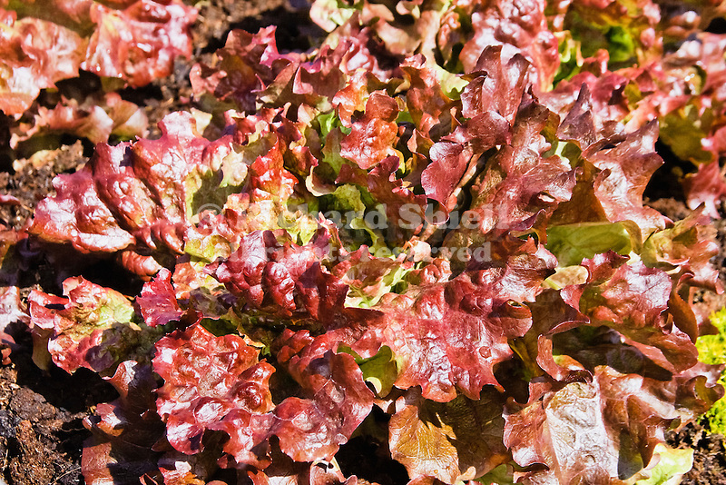LETTUCE 'NEW RED FIRE'