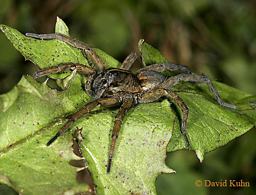 1021-06xx  Fishing Spiders - Nursery Web Spider - Dolomedes spp. - © David Kuhn/Dwight Kuhn Photography