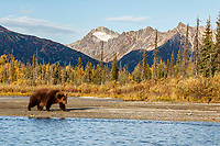 Alaskan Brown (Grizzly) Bear walks on the shoreline of Crescent River with the Chigmit Mountains in the background in Lake Clark National Park.  Fall - Autumn.  Alaska<br /> <br /> Photo by Jeff Schultz/  (C) 2019  ALL RIGHTS RESERVED<br /> <br /> Bears Moose Fall Color 2019 photo tour