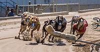 Greyhound dog racing at Southland Park Arkansas. Great action photos of the dogs racing on the track.