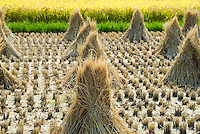 Rice stooks in a harvested field, backed by the golden green of the uncut rice, Toyoda, Suwa, Nagano, Japan.