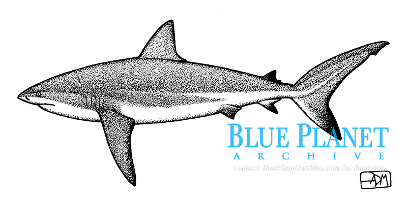 Caribbean reef shark, Carcharhinus perezii, lateral view, pen and ink illustration.