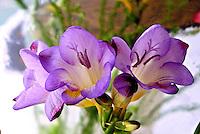 Flores. Frésia (Freesia x hybrida). SP. Foto de Manuel Lourenço.