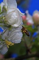 A bee gathering nectar from apple tree blossoms.///Butinage de fleurs de pommier par une abeille.