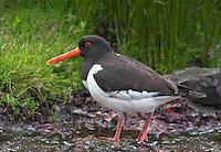 Oystercatcher at the Norwegian bird-island Runde