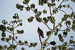 Turkey Vulture (Cathartes aura), Pipeline Road, Gamboa, Panama