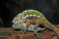 Panther Chameleons mating..Native to Northern & Coastal Madagascar. Captive..(Chamaeleo pardalis).