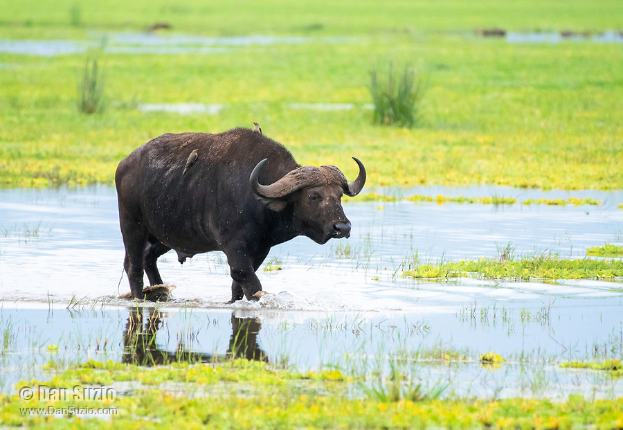 A Cape Buffalo, Syncerus caffer caffer, walks through a marsh in Lake Manyara National Park, Tanzania. Perched on its back are two Red-billed Oxpeckers, Buphagus erythrorhynchus.