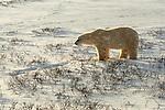 Polar bear in snow storm, Canada