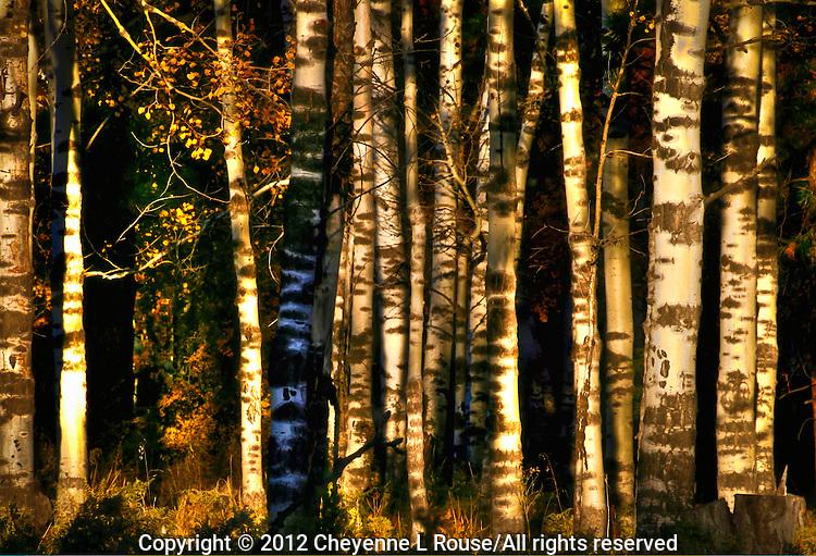 Shade & Shadow. Aspen trees, Flagstaff, Arizona