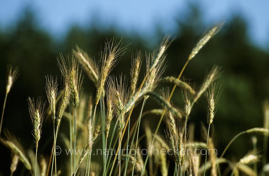Roggen, Saat-Roggen, Roggenanbau, Secale cereale, Rye