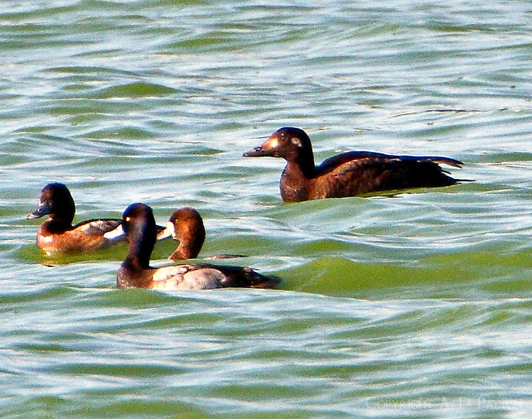 Female white-winged scoter with lesser scaups
