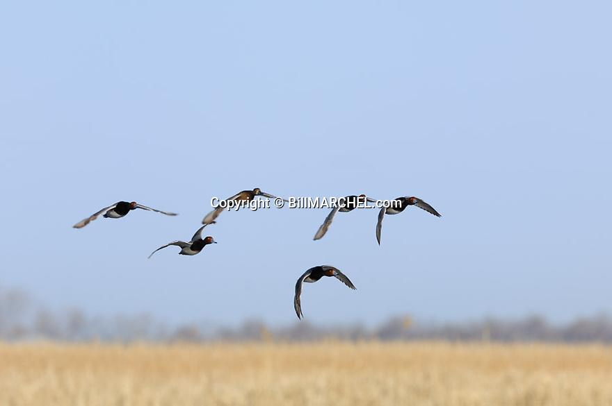 00317-014.13 Redhead Duck flock in flight low over marsh.  Fly, action, hunt, waterfowl, wetland, diver.