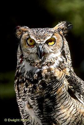 OW06-011z  Great Horned Owl - Bubo virginianus