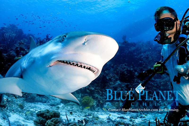 Caribbean reef shark, Carcharhinus perezii, feeding on bait fish, Bahamas, Caribbean Sea, Atlantic Ocean