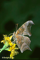 LE31-001a  Butterfly - Question Mark Butterfly drinking nectar - Polygonia interrogationis
