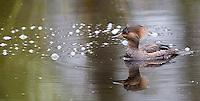 Hooded mergansers are often seen at Nisqually Wildlife Refuge.