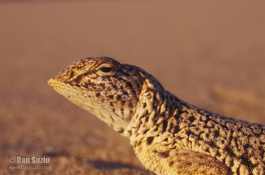 """Mojave fringe-toed lizard, Uma scoparia, on the Ibex Sand Dunes in Death Valley National Park, California. The elongated scales or """"fringe"""" on its toes give this lizard traction to run over loose, dry sand. Listed as a Species of Special Concern by the State of California due to declining populations and habitat loss."""
