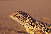 "Mojave fringe-toed lizard, Uma scoparia, on the Ibex Sand Dunes in Death Valley National Park, California. The elongated scales or ""fringe"" on its toes give this lizard traction to run over loose, dry sand. Listed as a Species of Special Concern by the State of California due to declining populations and habitat loss."