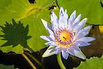 Lotus Flower, Punalu'u Black Sand Beach Park