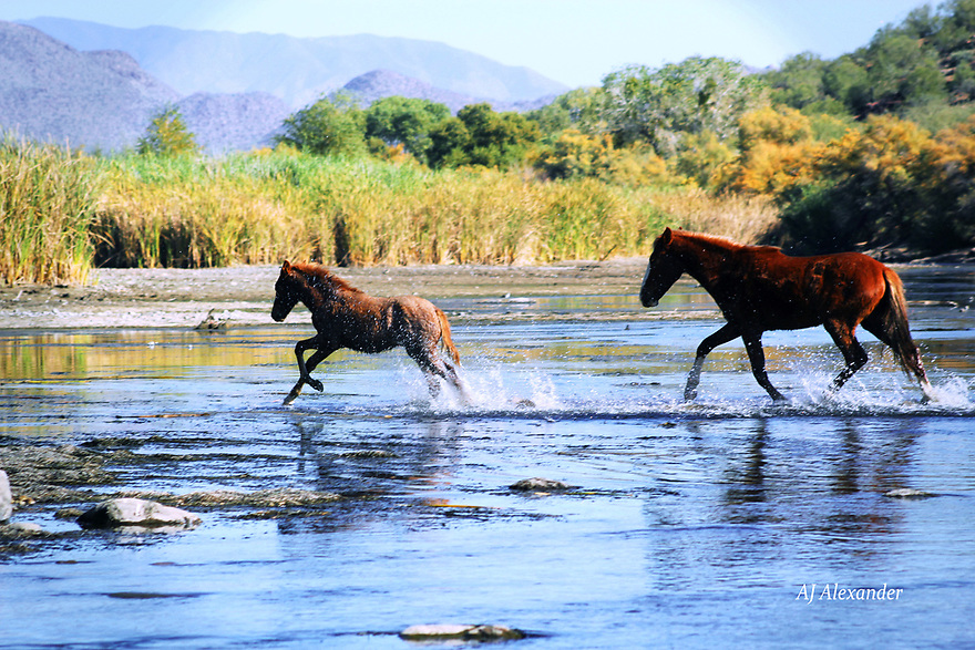 Wild Mustangs @ Salt River, Arizona<br /> AJ Alexander/AJ Images