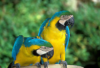 Two Macaws intensely interested and watching something