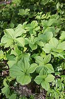 Vierblättrige Einbeere, größerer Bestand, Paris quadrifolia, Herb Paris, Herb-Paris