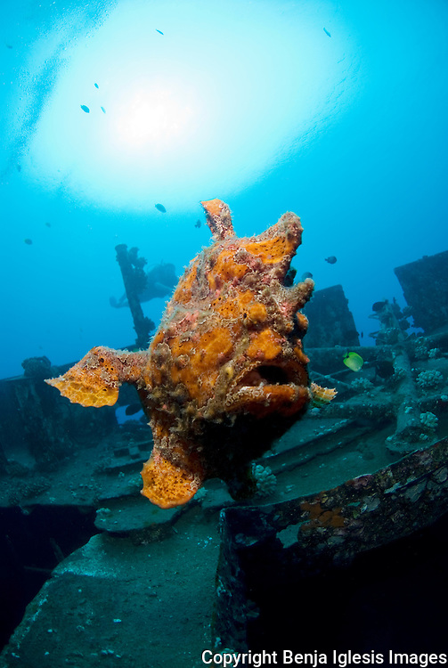Frogfish swimming on top of the st Anthonys wreck Maui Hawaii.