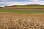 Banded field with corn and winter rye