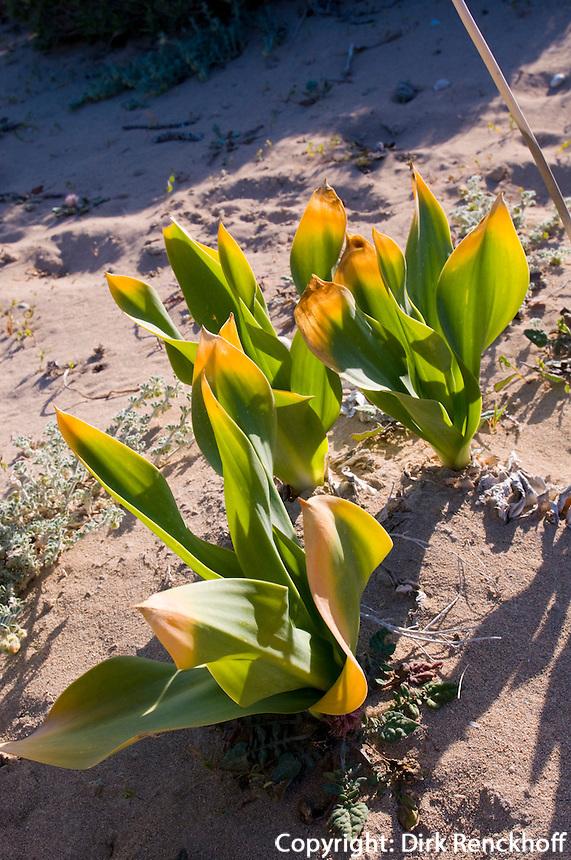 Nordzypern, Strand Golden Sands (Nagkomi), Karpaz-Halbinsel (Karpasia), Strand-Pflanzen