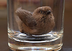 Wrentit in a Glass (a conversation starter for your next party)