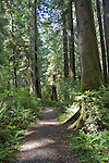 California, Redwood trees, trail through old growth forest, Prairie Creek Redwoods State Park, Hiking, James Irvine Trail, Humboldt County, California, USA,