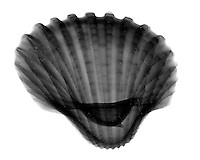 Xray Ark clam shell