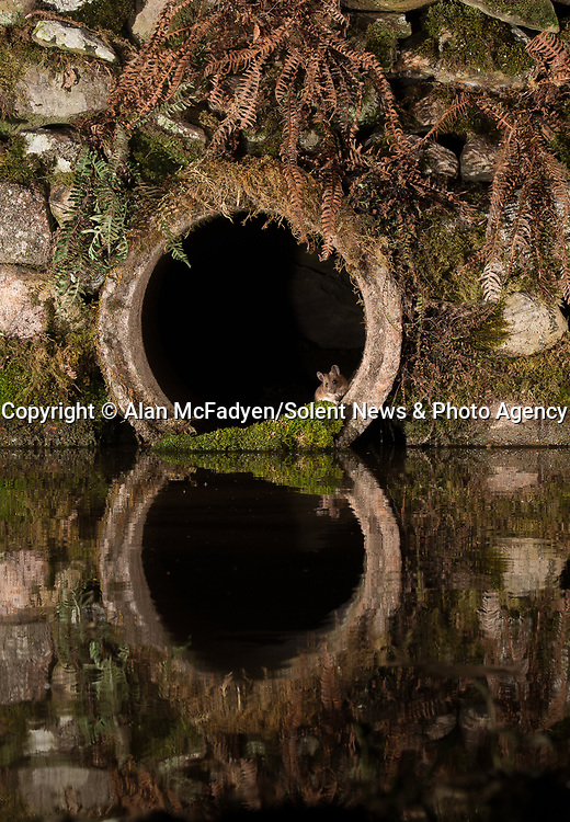 Pictured: A wood mouse peeks out of the tunnel<br /> <br /> A series of animals are perfectly reflected in a pool of water as they peek their heads out of a tunnel.<br />    The array of wildlife - from a red squirrel to a badger - seek refuge from the hot weather in the drainage pipe.<br />  <br /> Visitors to the 18-inch wide tunnel and the surrounding small pool include a blackbird, a great spotted woodpecker, an otter and a family of blue tits.    Photographer Alan McFadyen pictured the animals near his home in Kirkcudbright, Scotland.   SEE OUR COPY FOR DETAILS<br /> <br /> Please byline: Alan McFadyen/Solent News<br /> <br /> © Alan McFadyen/Solent News & Photo Agency<br /> UK +44 (0) 2380 458800