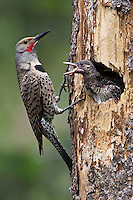 Northern Flicker preparing to feed a chick