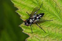 Raupenfliege, Gastrolepta anthracina, Tachinid Fly, Tachinidae, Raupenfliegen, Igelfliegen, Schmarotzerfliegen, tachinids, parasitic flies