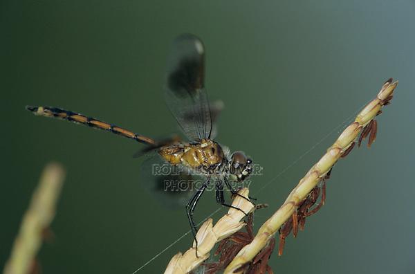 Four-spotted Pennant, Brachymesia gravida, adult on reeds, Welder Wildlife Refuge, Sinton, Texas, USA, May 2005