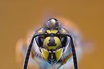 Pictured:   A wasp.  Incredible close-up photos show insects covered in perfectly formed dew drops.<br /> <br /> The macro shots include a wasp, a root weevil, a blue bottle fly, a dragonfly and snipe and yellow dung flies resting on leaves in the early morning dew.<br /> <br /> Calvin Lee, who works as a wedding photographer, took the photos after seeking out the insects shortly after dawn at Messingham Sand Quarry in North Lincolnshire.  SEE OUR COPY FOR FULL DETAILS.<br /> <br /> <br /> Please byline: Calvin Lee/Solent News<br /> <br /> © Calvin Lee/Solent News & Photo Agency<br /> UK +44 (0) 2380 458800