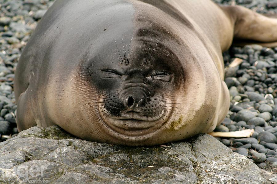 Sleeping Southern Elephant Seal pup on Macquarie Island, Antarctica