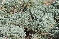 [Artemisia pycnocephala] Davids Choice seen up close.