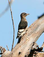 Fledgling red-headed woodpecker