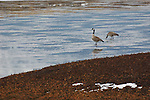 Two Canada geese standing on frozen water in Montana.