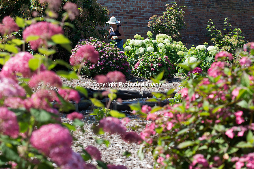 """20/06/16<br /> <br /> Helen Bousie trimming the bushes.<br /> <br /> Tucked away in a hidden walled garden of an inner-city public park, the UK's largest hydrangea collection is putting on its best display ever, following the sudden heatwave after several months of rain.<br /> <br /> Full story:  <br /> <br /> https://fstoppressblog.wordpress.com/britains_biggest_hydrangea_garden/<br /> <br /> .And what used to be a flower traditionally associated with """"granny's cottage garden"""" is blooming back into fashion thanks to the rising trend for all things shabby chic and retro-styled.<br /> <br /> There are more than 600 individual hydrangea bushes with a dozen or so different varieties, planted in Derby's Darley Abbey park, formerly part of an estate belonging to the nearby cotton mills.<br /> <br /> All Rights Reserved, F Stop Press Ltd. +44 (0)1773 550665"""