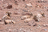 0607-1106  Herd of Bighorn Sheep (Mountain Sheep), Ovis canadensis  © David Kuhn/Dwight Kuhn Photography
