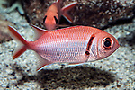 blackbar soldierfish swimming to right