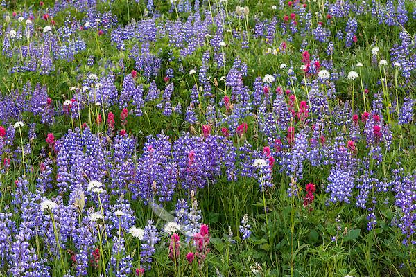 Wildflowers--lupine, heather, paintbrush, valerian and anemone or western pasqueflower--in subalpine meadow, Mount Rainier National Park, WA.  Summer.