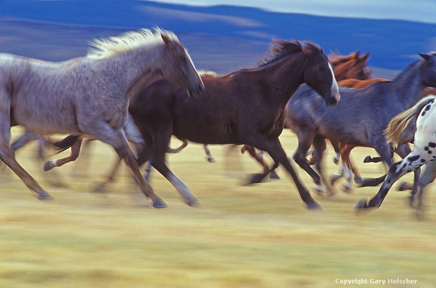 Horses running in prairie. Blurred. Ponderosa Ranch, Seneca, OR.