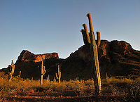 Saguaros outside Tuscon Arizona. Right before I was attacked by killer bees.