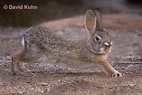 1115-0807  Desert Cottontail Rabbit (Audubons Cottontail), Sylvilagus audubonii © David Kuhn/Dwight Kuhn Photography