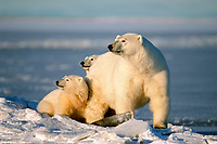 polar bear, Ursus maritimus, mother & cubs, Arctic National Wildlife Refuge, North Slope of Alaska, polar bear, Ursus maritimus